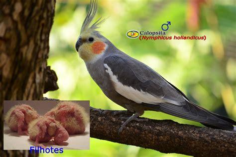 Zoologia: Calopsita  Nymphicus hollandicus
